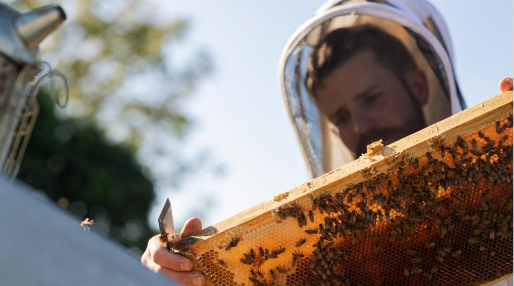Beekeeper Rory O'Brien inspects a honey frame with bees on it.